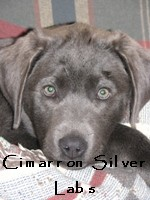 Cimarron Silver Labs Puppies Texas Silver Labs